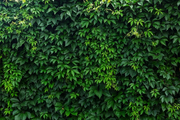 A dense hedge of green vine leaves. space for text. background.