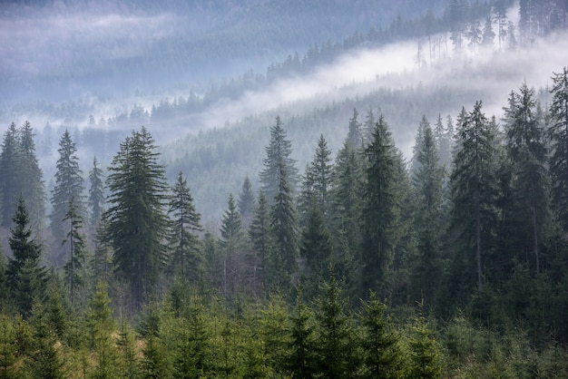 Dense pine forest in morning mist. foggy pine forest.