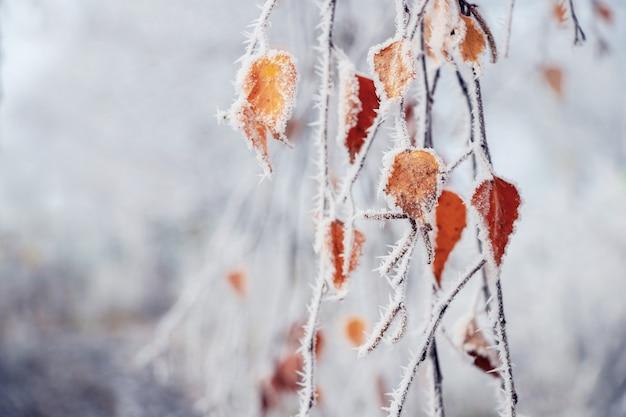 Густо покрытая инеем ветка березы с сухими увядшими листьями