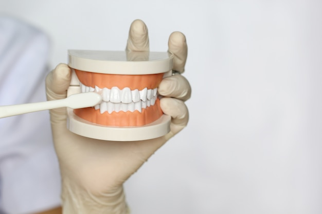 Dentist hand holding of jaw model of human teeth and toothbrush on white