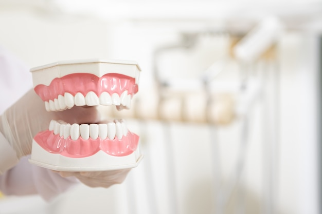 Dentist hand holding teeth model.