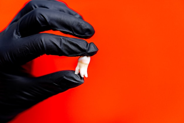 黒のラテックス手袋をはめた歯科医は、教育用の歯のモデルを持っています。赤い背景。