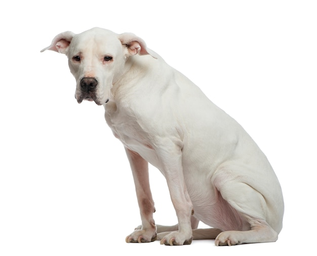 Depressive dogo argentino sitting and looking away