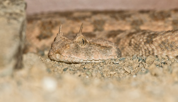 Desert horned viper portrait