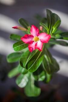 Цветок розы пустыни