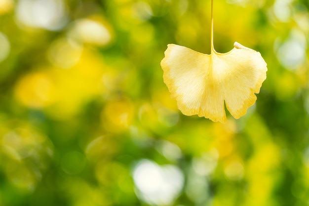 Design concept - beautiful yellow ginkgo, gingko biloba tree leaf in autumn season in sunny day with sunlight, close up, bokeh, blurry background.