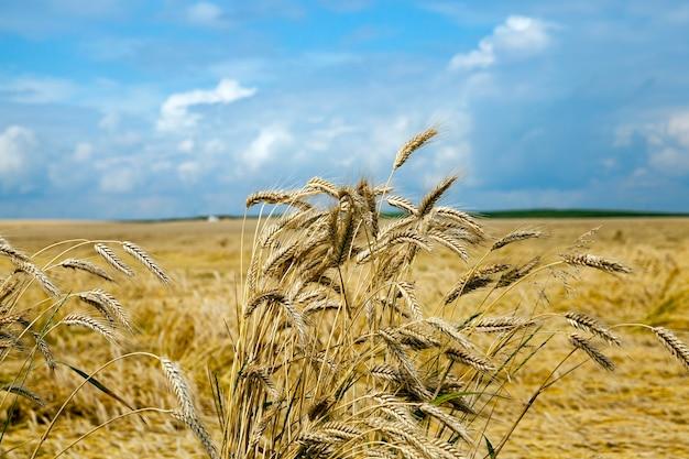 嵐の小麦によって破壊された-嵐の後、熟した黄色い小麦が地面にある農地