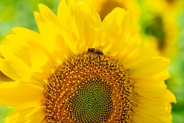 Детализируйте красивый подсолнух в поле подсолнухов летом, глядя на солнце
