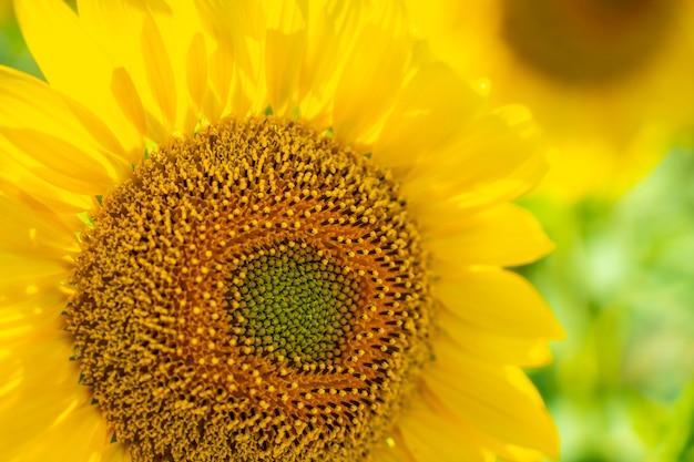 太陽を眺めながら夏のひまわり畑に美しいひまわりをディテール