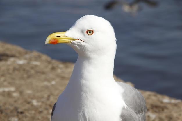 Detail of beautiful seagulls on the coast of essaouira