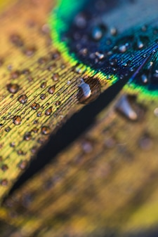 Detail of blurred fresh peacock feather with water droplets