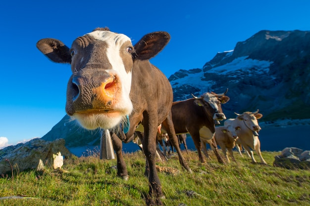 Detail of a cow while grazing with other on the swiss alps