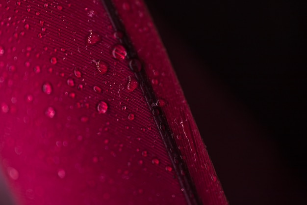 Detail of droplets on the red feather against black background