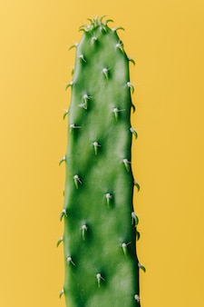 Detail of flat and long green cactus on a yellow wall