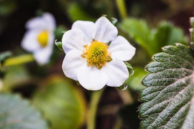 Detail of the flower and green leaves of a strawberry bush in spring.