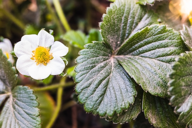 Detail of the flower and green leaves of a strawberry bush in spring