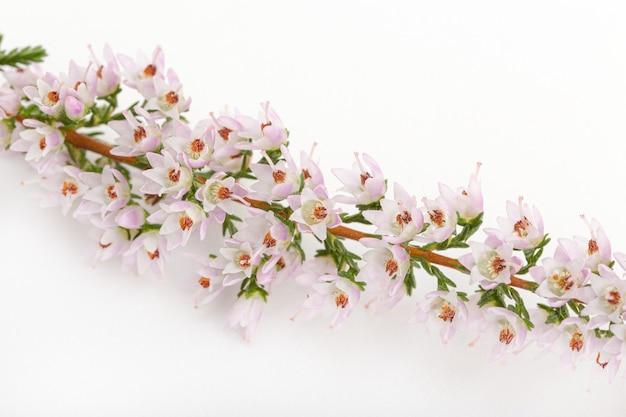 Detail of flowering common heather isolated on white background. calluna vulgaris