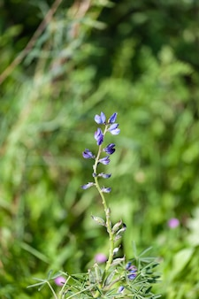Detail of the flowering of a texas bluebonnets (lupinus texensis)