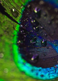 Detail of fresh water droplets on peacock bird's feather