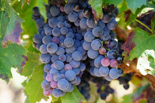 Detail of a grape cluster hanging from the tree in a vineyard with black grapes Premium Photo
