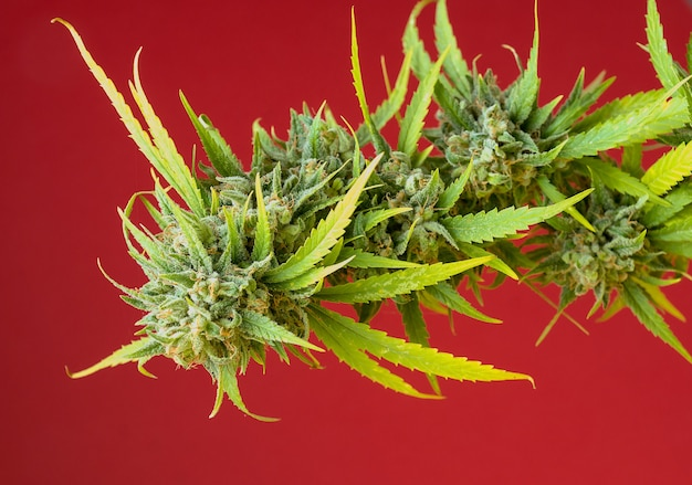 Detail horizontal image of cannabis plant with buds on red background and soft side lighting