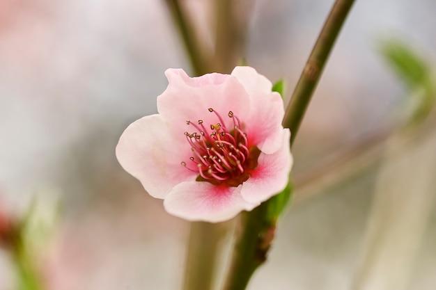 봄에 복숭아 꽃 한 송이의 매크로 촬영 세부 정보