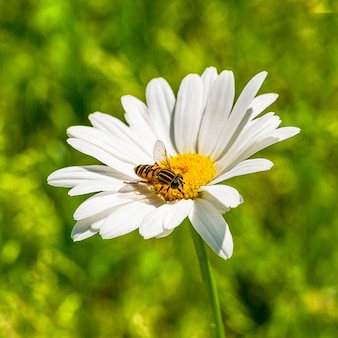 Detail of a little bee on a white daisy