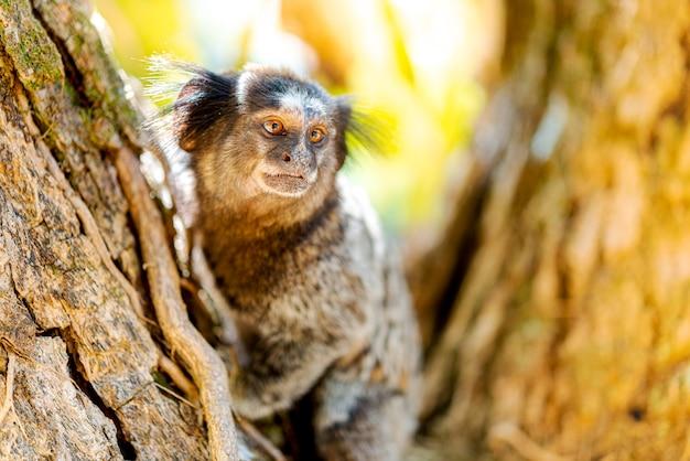 Detail of marmoset monkey on the tree.