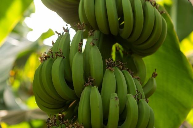 Деталь банановой плантации в луксоре, египет.