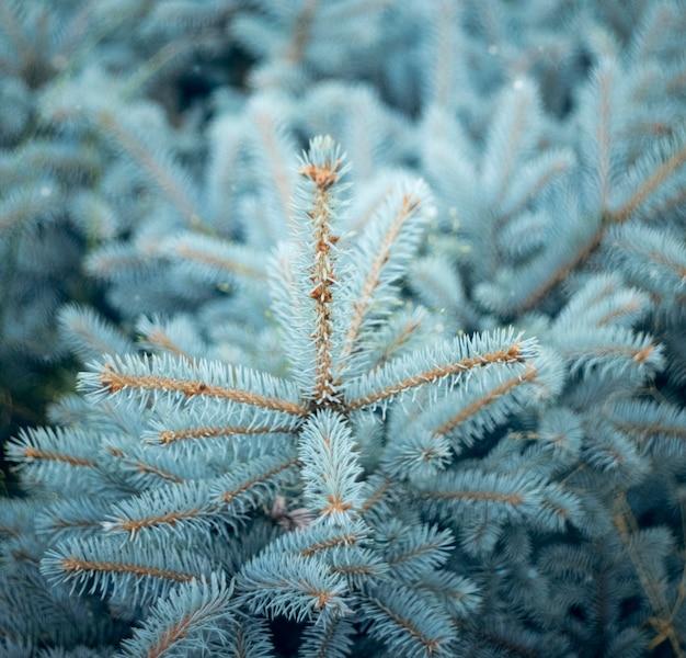 Деталь декоративного куста синие ветви стройной молодой ели квадратный баннер рождественской елки