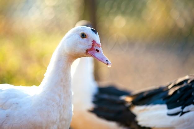アヒルの頭の詳細。アヒルは伝統的な田舎の納屋を食べます。納屋の庭に立っている水鳥のクローズアップ。放し飼いの養鶏のコンセプト。