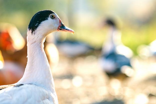 アヒルの頭の詳細。アヒルは伝統的な農村の納屋を食べます。納屋の庭に立っている水鳥のクローズアップ。放し飼い養鶏のコンセプトです。