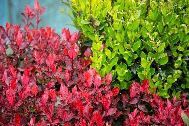 Деталь живой изгороди photinia red robin красные и зеленые листья на ветке куста, естественный красочный фон листьев, лето