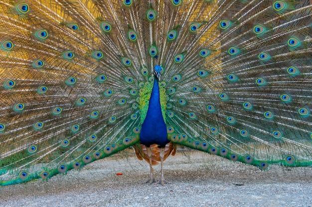 열린 깃털을 가진 공작의 세부 사항, 산 세바스티안 도시 공원, 바스크 지방. 스페인