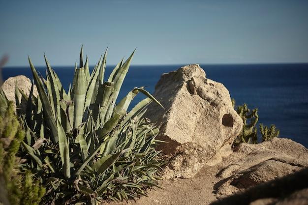 海の近くのいくつかの岩の近くで育つアロエベラ植物の詳細