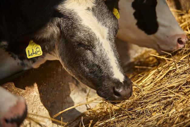외양간 농장에서 암소의 세부 사항