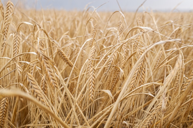 地中海のプランテーションで小麦の乾燥した耳の詳細。
