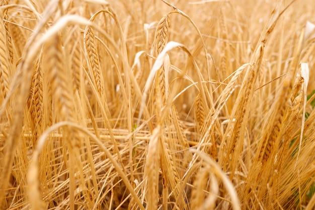 地中海のプランテーションにおける小麦の乾燥した穂の詳細。