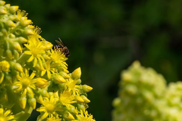 봄 오후에 따뜻한 햇빛과 노란 꽃에 pollinating 유럽 또는 서양 꿀 꿀벌의 세부 사항. 노란색과 녹색 꽃 꽃에 꿀벌입니다. 기후 변화 개념. 꽃가루 알레르기.