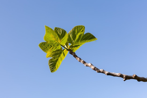 Деталь ветвей фигового дерева с листьями на фоне голубого неба