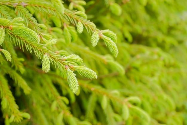 Деталь ветви ели в лесу. молодые зеленые побеги ели весной.