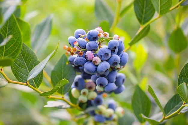 Деталь био-растений свежей черники на огромной ферме, концепция питания фруктов