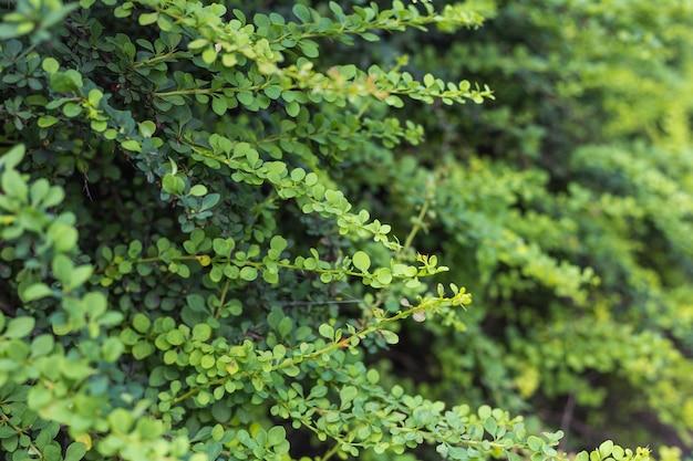 녹색 buxus sempervirens 관목, 잎 가지의 세부 사항