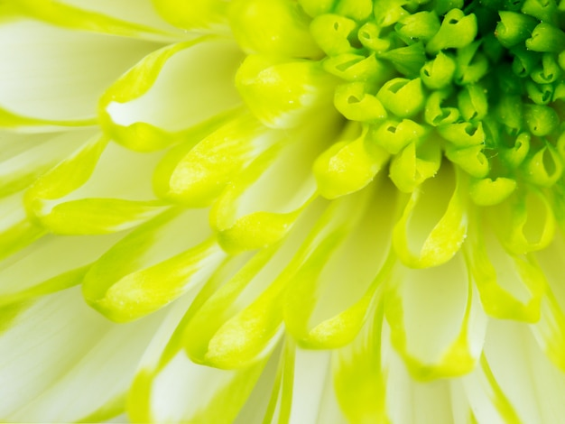 Деталь lime green хризантема цветочная площадь backround