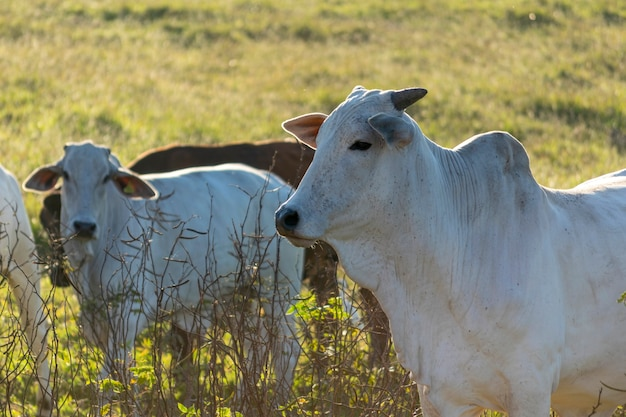 목장에서 넬로어 소의 세부 사항