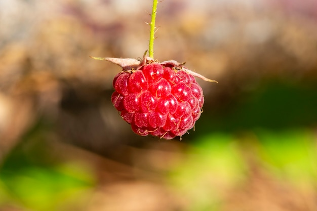 Деталь красных фруктов на дикой малине, спелые лесные ягоды на ветке, летний десерт