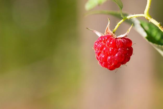 Деталь красных фруктов на дикой малине, спелых лесных ягодах на ветке