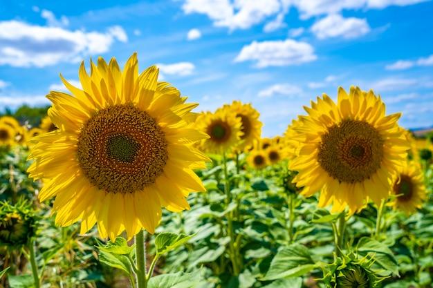 夏のひまわり畑でひまわりの詳細オープン太陽を見て