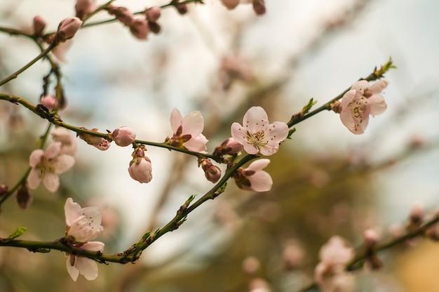 봄에 복숭아 나무 꽃의 세부 사항. 프리미엄 사진