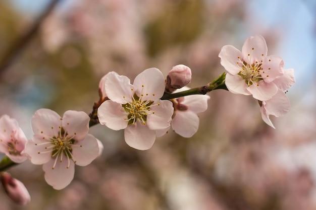 봄에 복숭아 나무 꽃의 세부 사항.